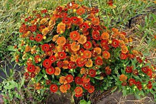 Гелениум «Марьячи Ранчера» имеет плотный шаровидный куст
