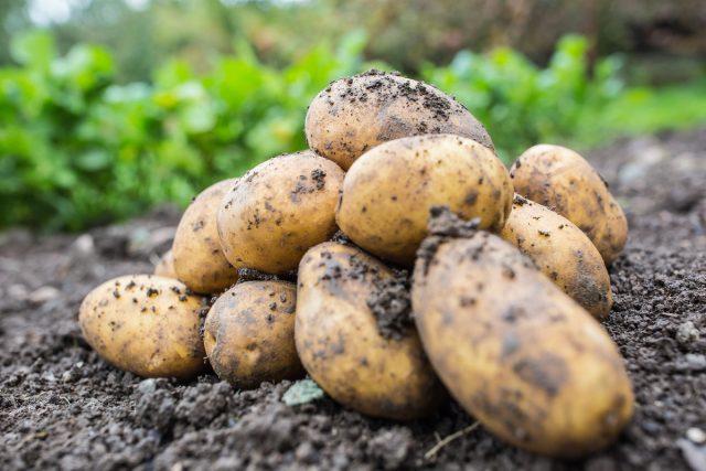 Как мы выращивали картофель в разных регионах и каких успехов добились