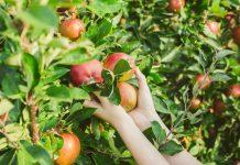 Как понять, что пора собирать урожай яблок?
