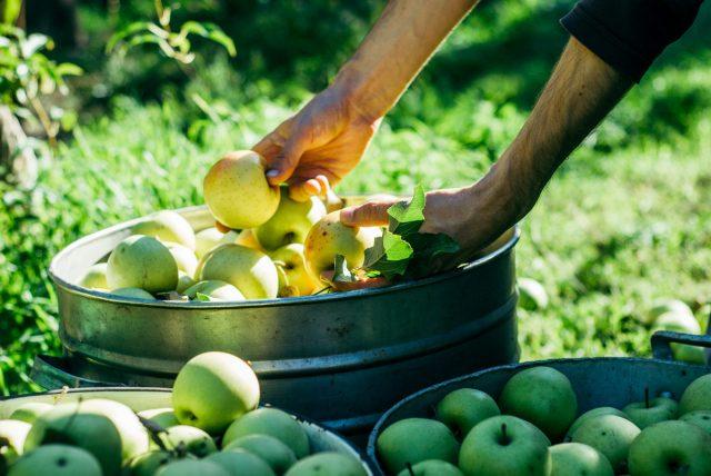 Зимние сорта яблок снимают еще кислыми, твердыми, но уже достигнувшими максимального размера