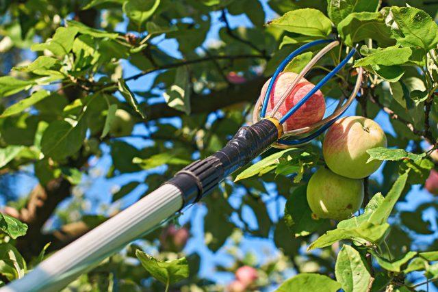 Инструменты должны быть готовы к сбору яблок