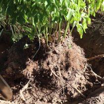 Окопайте куст вокруг и очистите корни