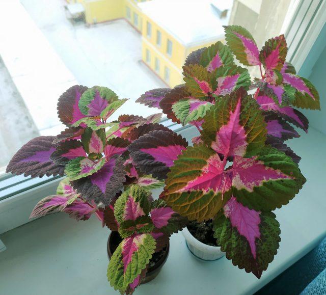 Главная задача зимовки колеуса — сберечь растения до весны, омоложения или размножения