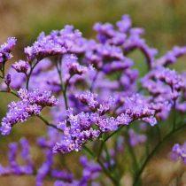 Цветки кермека Гмелина похожи на крошечные колокольчики