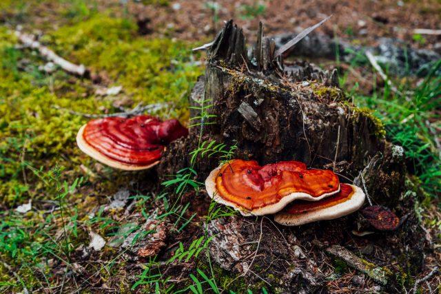 Лекарственные грибы — где собрать и как употребить?