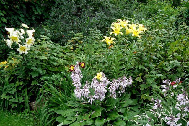 Лилии на приподнятых грядках под защитой смородины