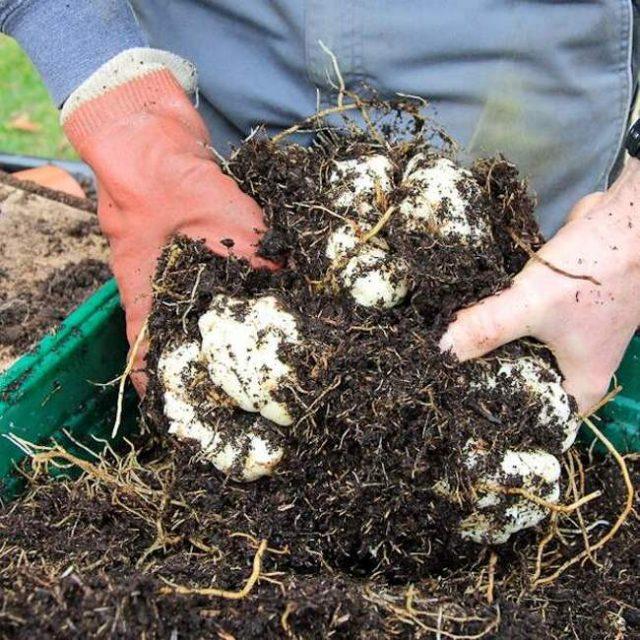 Самый беспроигрышный и надёжный вариант зимовки лилий — выкопать и отправить на зимовку в подвал