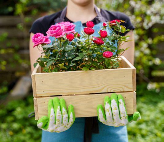 Миниатюрные контейнерные розы — как спасти и выращивать в саду?