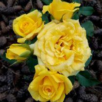Роза «Миниатюр Йеллоу» (Miniature Yellow)