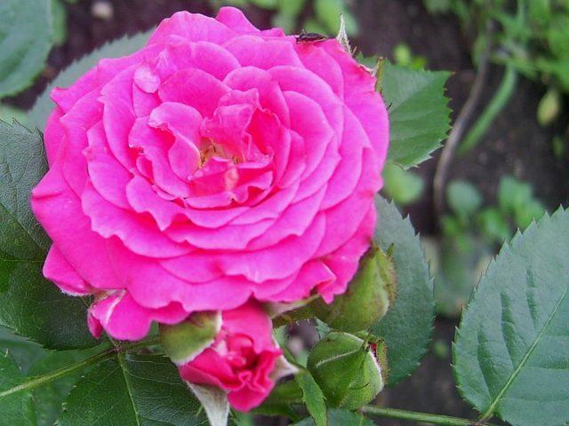 Роза «Амулет» (Amulett)