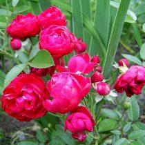 Роза «Морсдаг» (Morsdag)