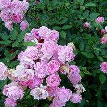Роза «Яблонька»