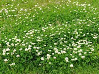 Белый клевер (Trifolium repens)