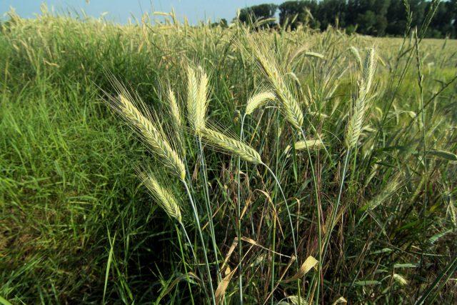 Рожь многолетняя (Secale cereale)