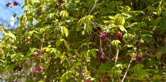 Наша морозостойкая акебия — цветёт, но не плодоносит