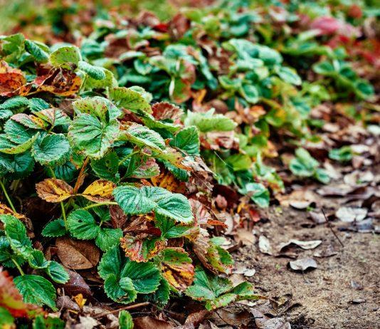 Осенние подкормки для земляники садовой