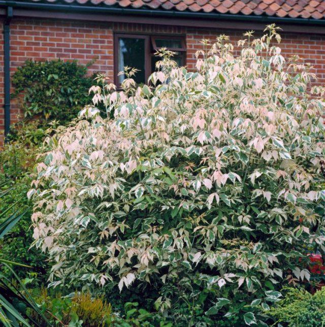 Клен ясенелистный «Фламинго» (Acer negundo 'Flamingo')