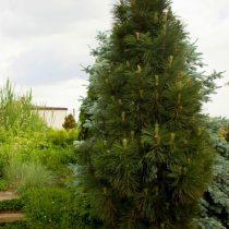 Сосна черная (Pinus nigra), сорт «Грин Рокет»