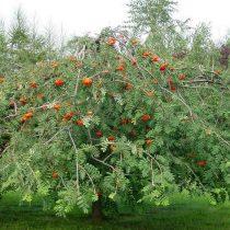 Рябина обыкновенная (Sorbus aucuparia), сорт «Пендула»