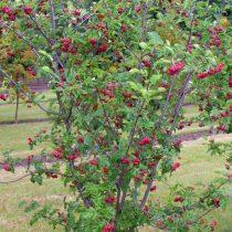 Рябина (Sorbus), сорт «Титан»