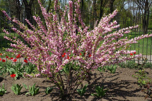 Луизиания трехлопастная, или миндаль, или слива трехлопастная (Prunus triloba)