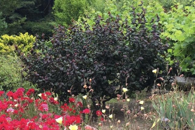 Лещина, или фундук (Corylus avellana), сорт «Рэд Маджестик»