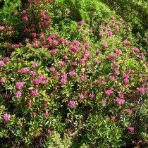 Рододендрон Понтийский (Rhododendron ponticum)