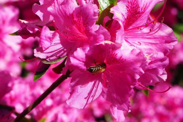 Чаще всего ядовитым называют именно мёд, собранный с определённых растений семейства Вересковых