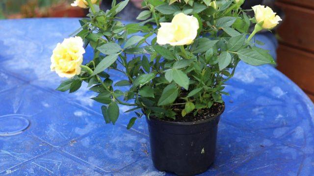 Как выращивать розу Кордана дома и в открытом грунте?