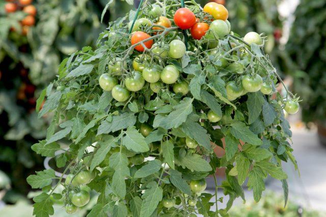Ампельные томаты — правда или ложь?