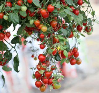 Ампельный томат «Черри Фонтейн» (Cherry fountain)