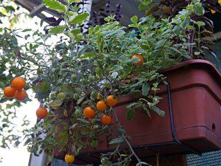 При определенном ракурсе томат «Золотая Гроздь» выглядел ампельным