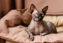 Бесшерстные кошки — сфинксы и не только