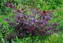 Фундук — мой опыт выращивания в средней полосе