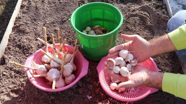 Как посадить чеснок под зиму?