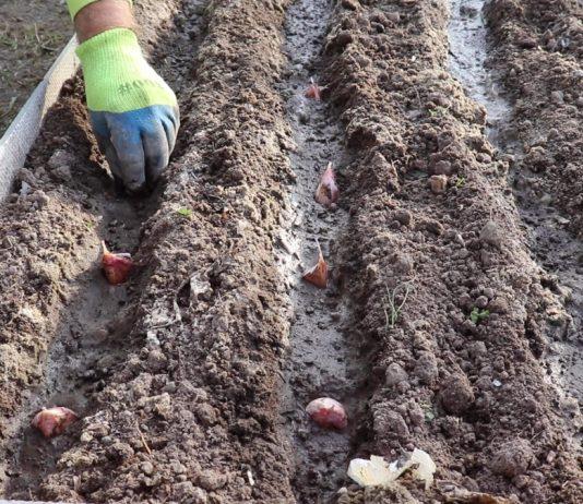 Высаживайте дольки на глубину 5-10 см