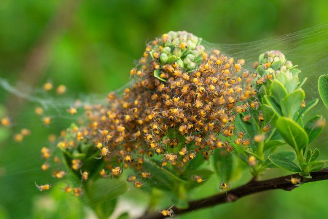 Потомство паука крестовика