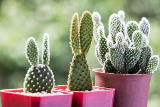 Опунция — легенда среди кактусов
