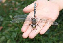 Стрекозы — эффективные охотники, а не попрыгуньи
