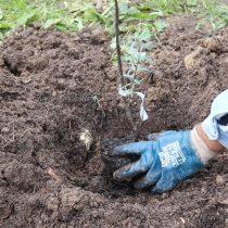 Извлеките саженец из контейнера и расположите растение по центру посадочной ямы