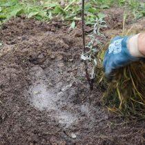 Обильно полейте посаженные деревья и замульчируйте почву
