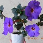 17-ahimenes-crowning-day-den-koronatsii