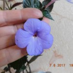 30-ahimenes-ever-blue-kakoy-siniy